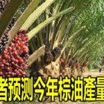 种植业者预测今年棕油產量创新高