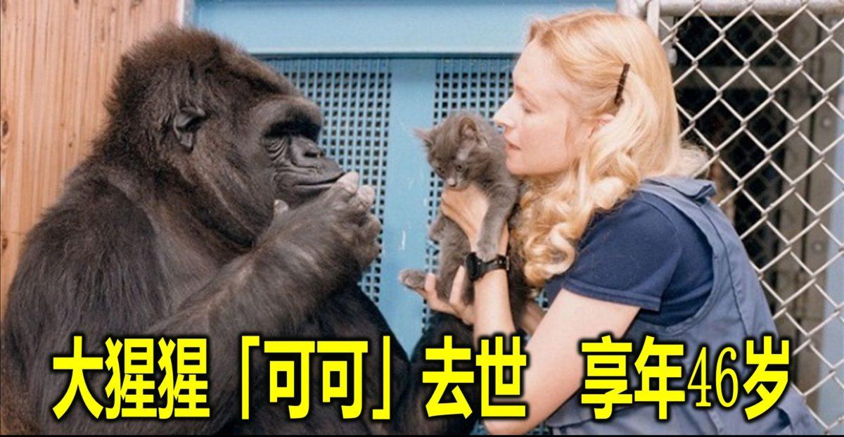 大猩猩「可可」去世 享年46岁