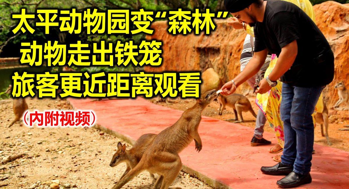 """太平动物园变""""森林"""" 动物走出铁笼 旅客更近距离观看(內附视频)"""